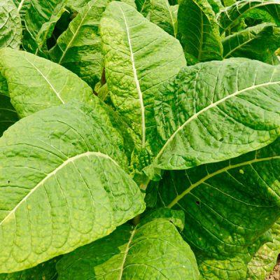 DK Tobacco Food Flavour - The Flavor Apprentice
