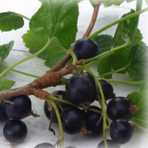 Malaysia Blackcurrant Mix Food Flavour